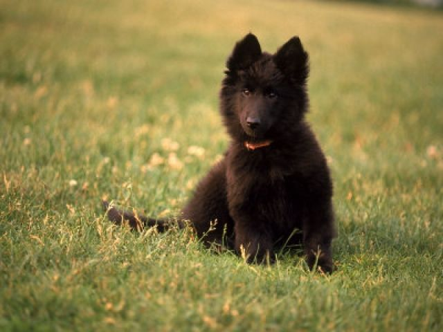 Belgian Sheepdog Puppy Looks Caes