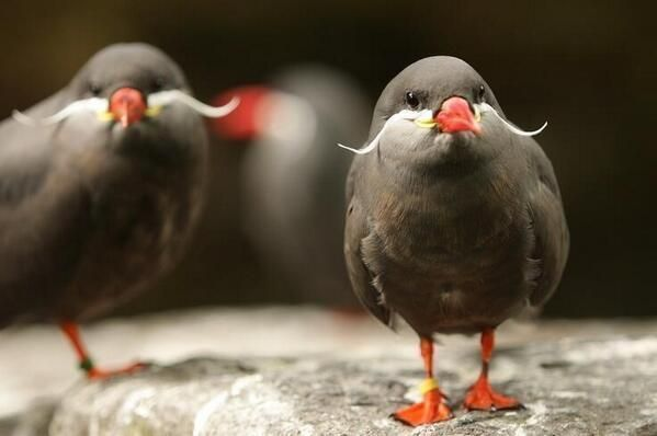 Inca Terns, birds with mustaches. who knew?