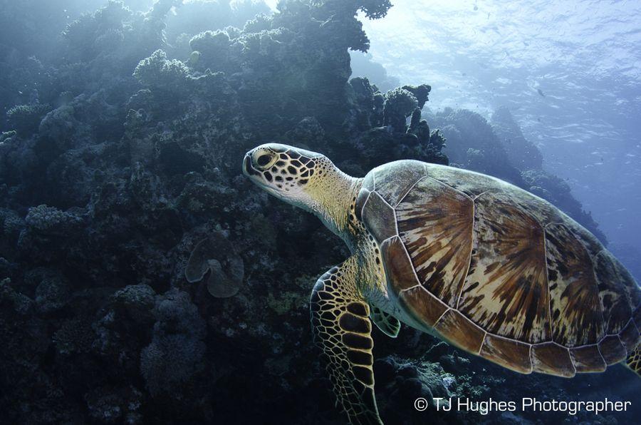 Sea Turtle by TJ Hughes on 500px