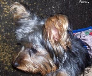 Adopt Randy on | RESCUE THESE BABIES | Yorkie breeders