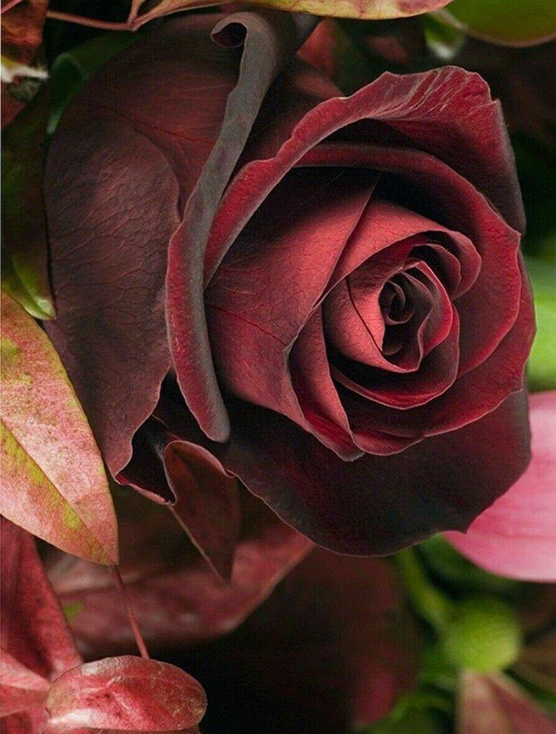Красивые картинки бордовые розы