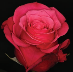 Cfa Procusys - OPS/Unsupported | Bulk roses, Hot pink roses, Rose varieties