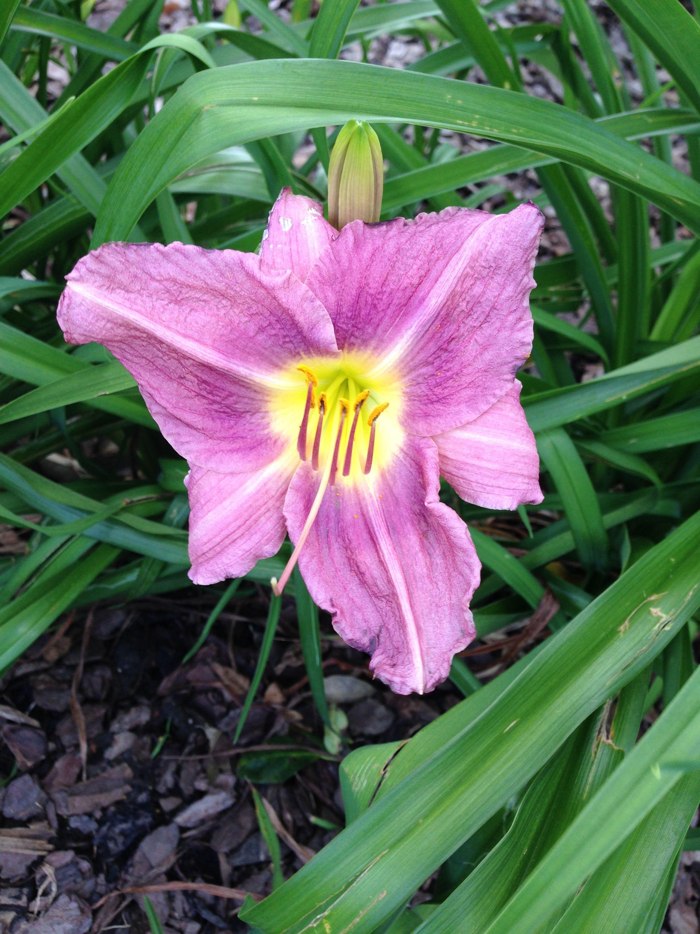Purple lily my flowers pinterest purple lily purple lily izmirmasajfo