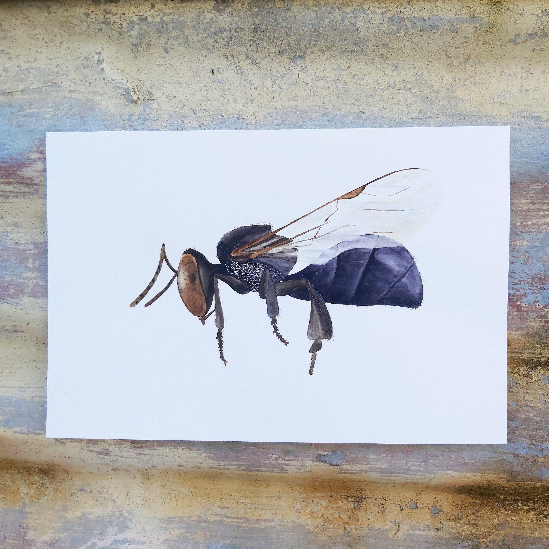 Sugarbag bee artwork   Watercolour painting (24 x 16cm)   Insect study   Entomology illustration   Nature wall decor   Australian wildlife #WallDecorArt #InsectArtwork #BugIdentification #NewSouthWales #OutbackFauna #NativeBees #Queensland #ScienceDrawings #AustralianAnimals #GardenCreatures