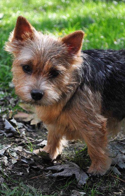 A Shoebutton Norwich Terrier Norwich Terrier Norwich Terrier