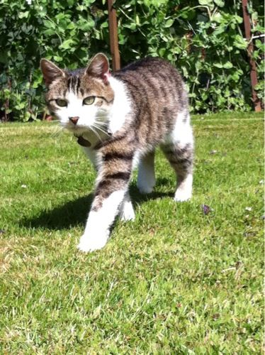 Tabby Cat With White Paws Lost In Ballincollig Tabby Cat Grey