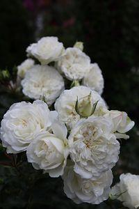 White Meidiland (8).JPG