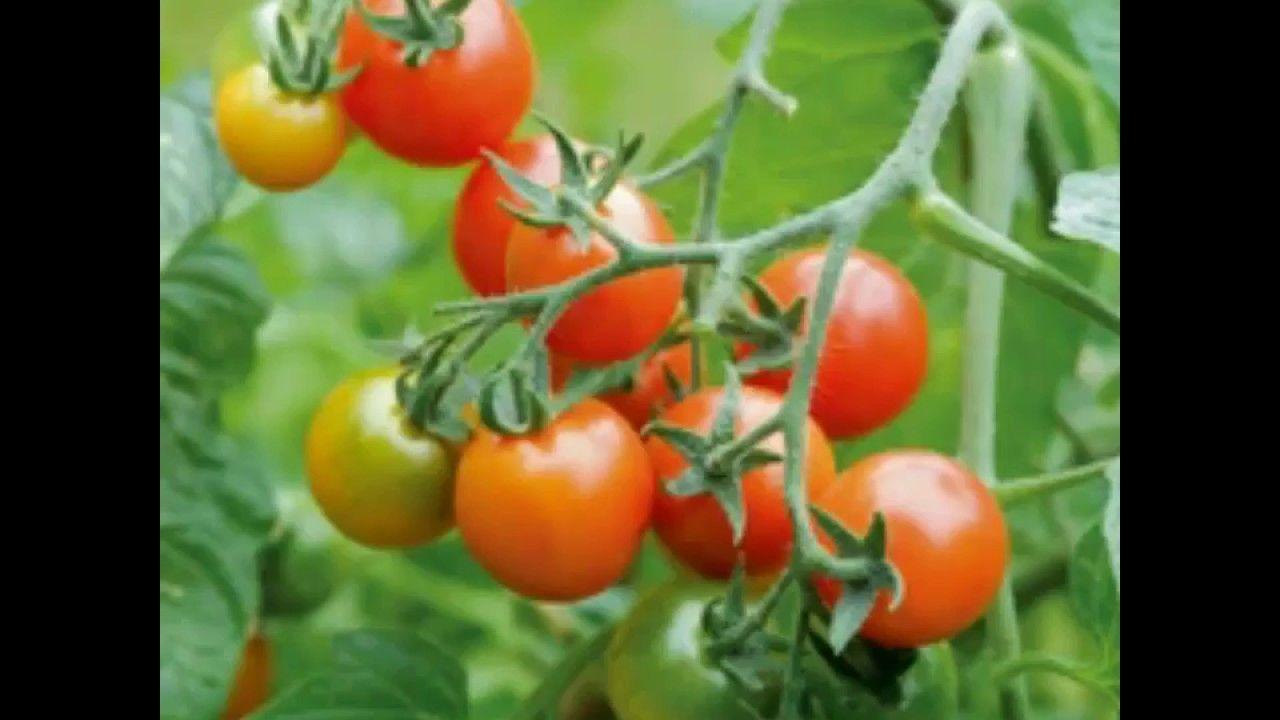 زراعة الطماطم من البذور Growing Tomatoes From Seed Youtube Tomato Farming Growing Tomatoes From Seed Growing Tomatoes