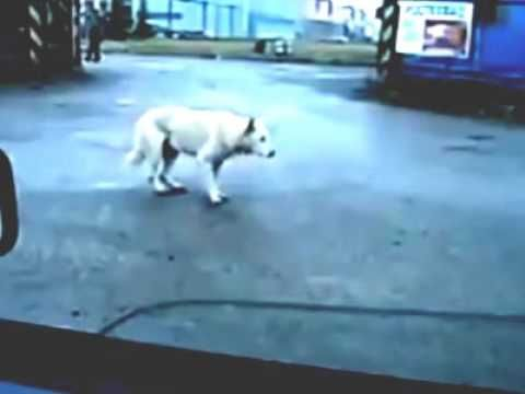 Funny Dancing Dog Video With Images Dog Gifs Dance Humor Dogs