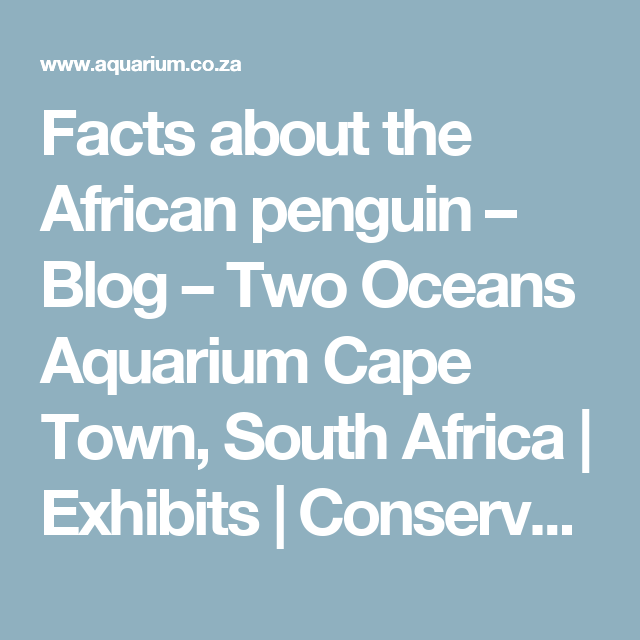 Facts about the African penguin – Blog – Two Oceans Aquarium Cape Town, South Africa | Exhibits | Conservation | Education | Events | Diving