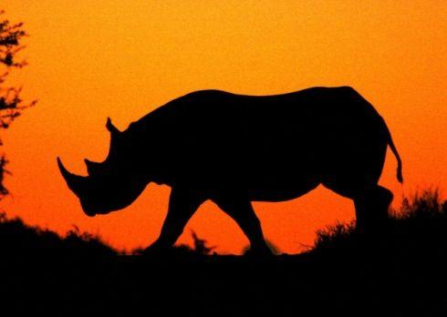 Shows: Black Rhino silhouette at sunset, Hluhluwe-Imfolozi ...