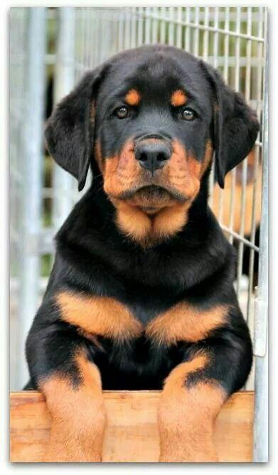 Rottweiler Pup Dogs Rottweiler Puppies Dog Breeds