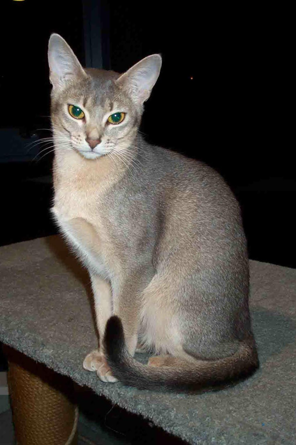 Owning an abyssinian cat