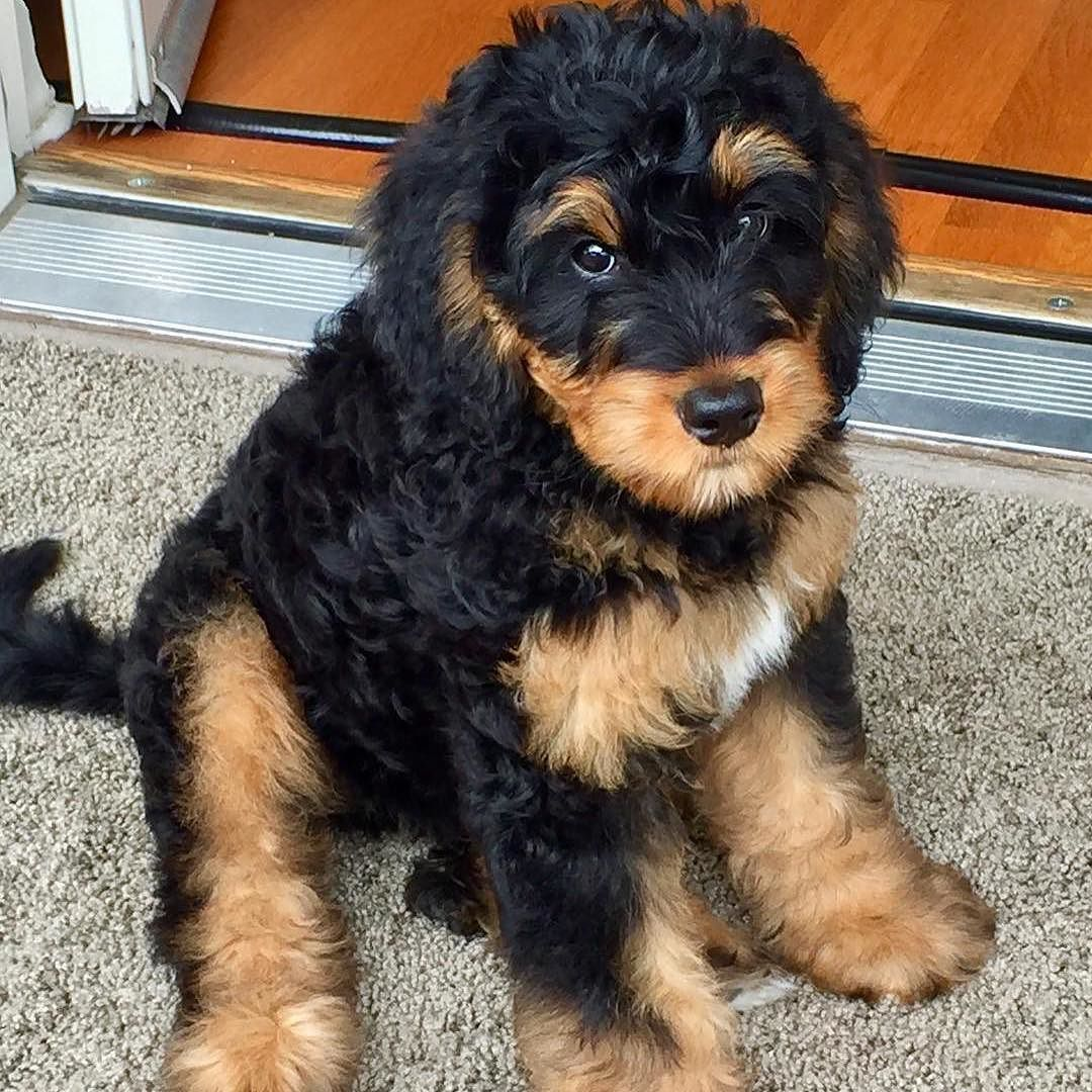 Keep Calm And Phantom On We Our Phantom Bernedoodles The Striking Rust On Black Pattern Of A Bernese Mou Bernedoodle Bernese Mountain Dog Bernedoodle Puppy
