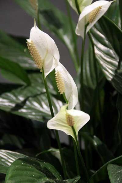 12 plantas de interior que purifican el aire de nuestra - Plantas de interior que purifican el aire ...