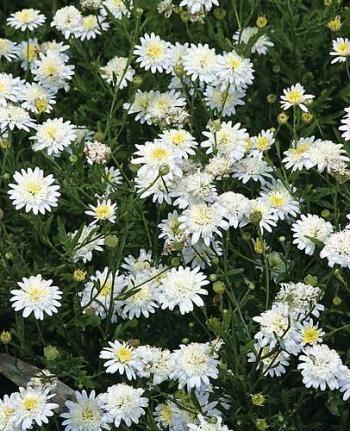 Kalimeris Mongolica 39 Hortensis 39 Aster White Gardens And