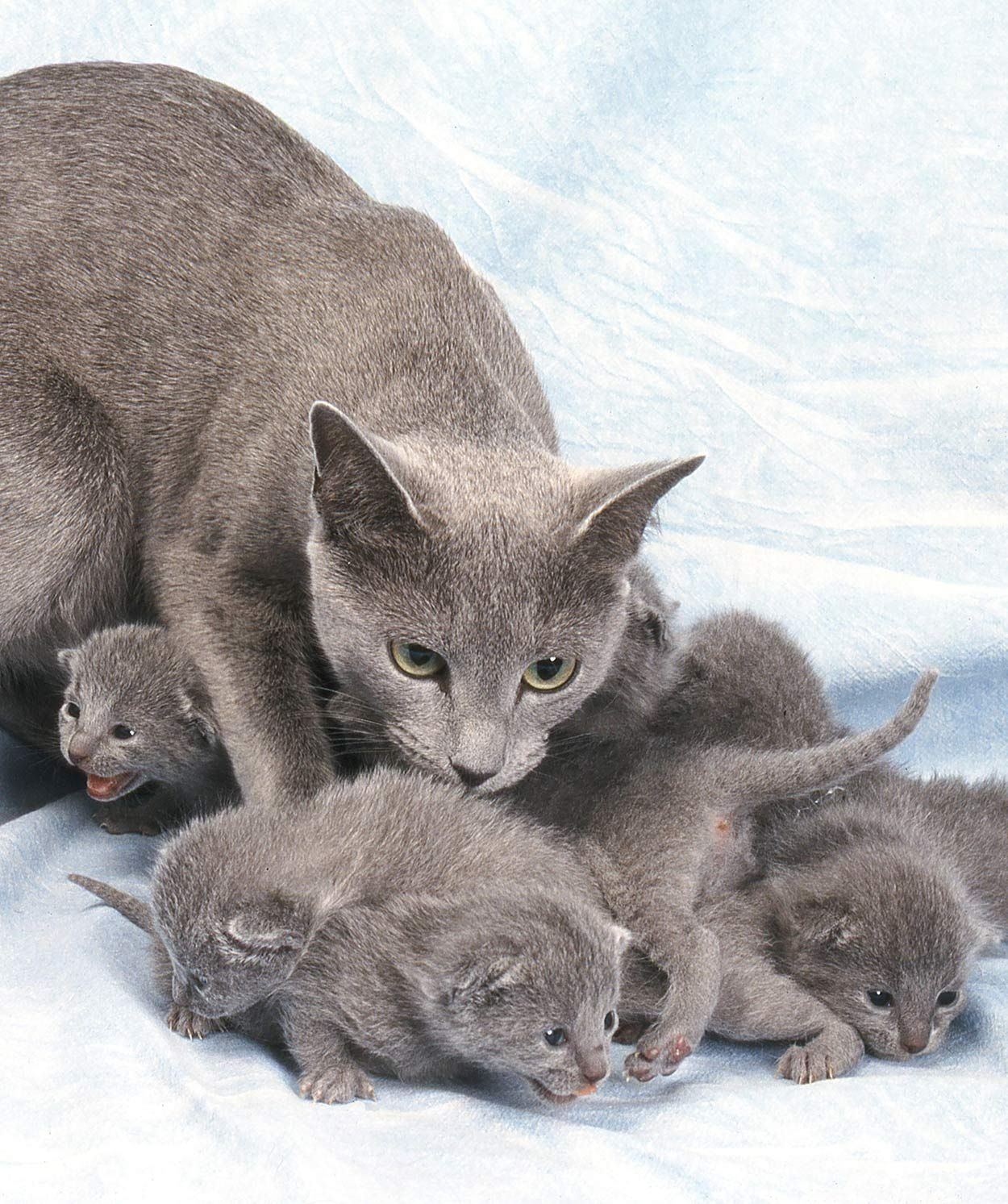 Russian Blue Kittens Finding A Cat And Your First Days Together