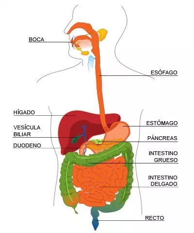 Que Función Cumple El Sistema Digestivo Que Funcion Cumple Sistema Digestivo El Sistema Digestivo Intestino Grueso