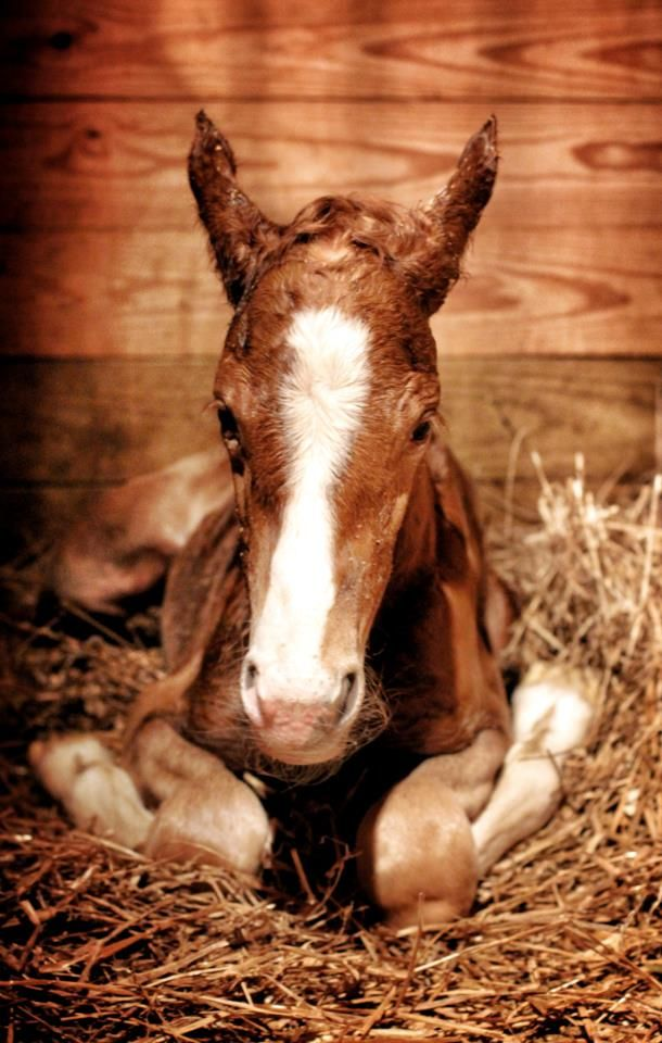 Foal thinking about standing up for the first time.