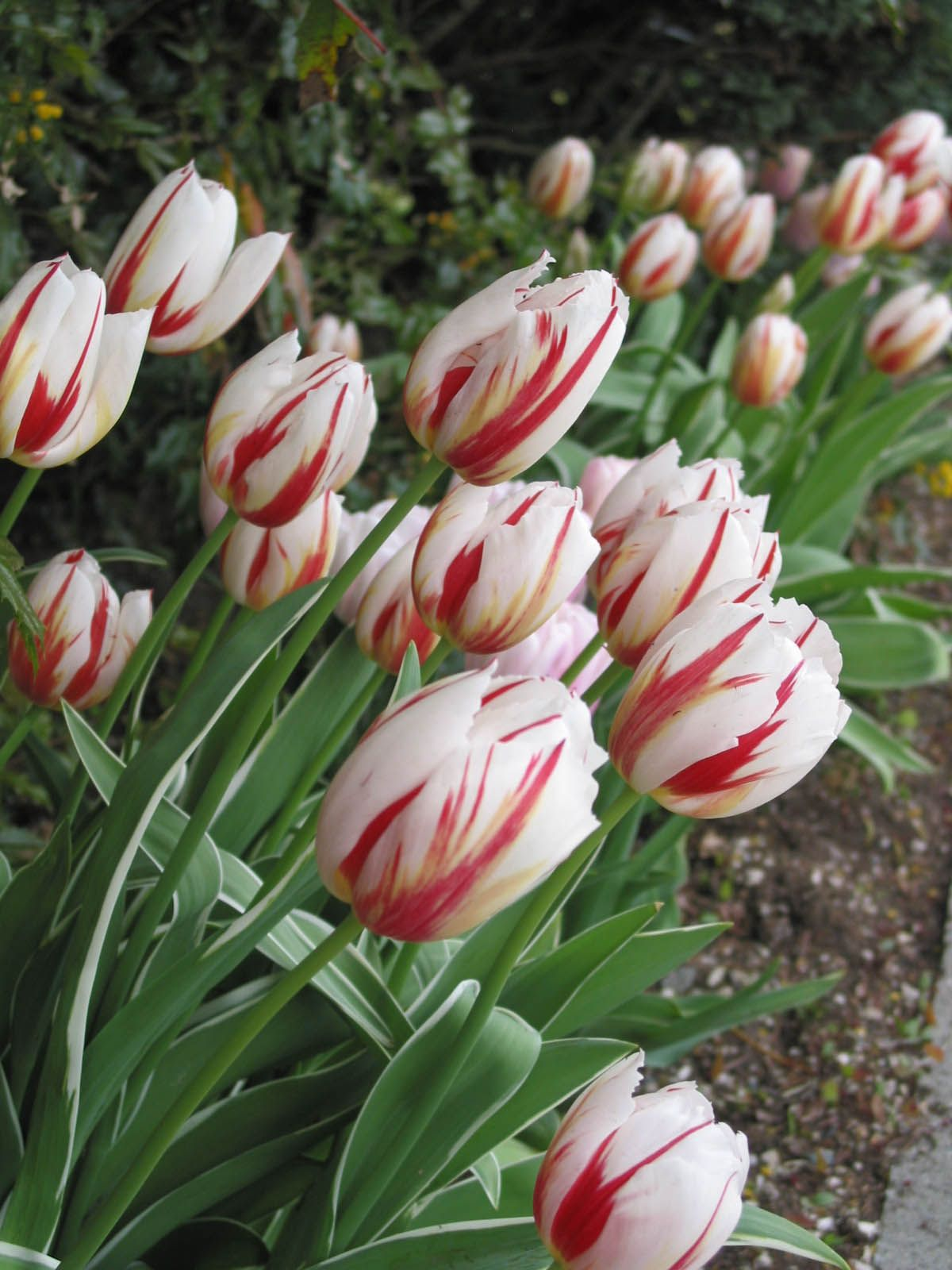 Canadian Celebration Tulip Bulbs