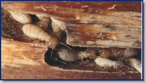 This Is What Termite Infested Wood Looks Like Termites Drywood Termites Termite Control