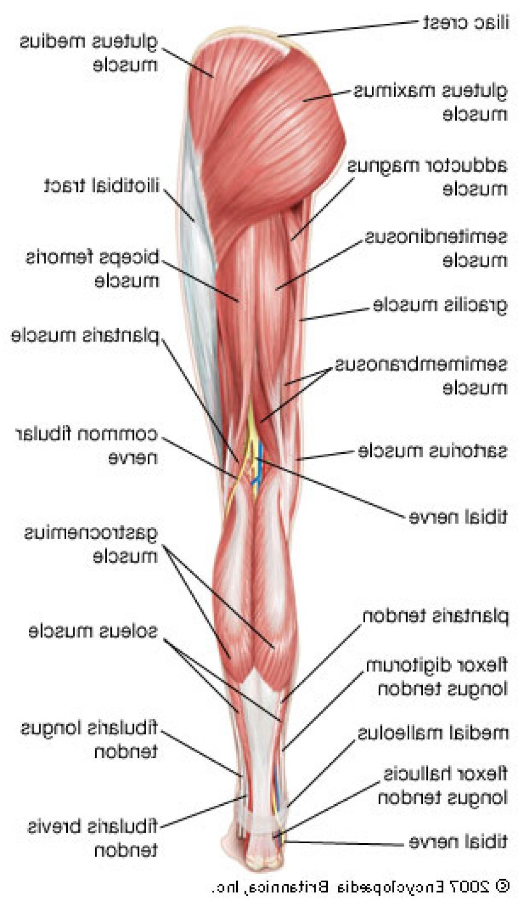 Muscles Of The Leg With Drawing And Labelled Manual Guide