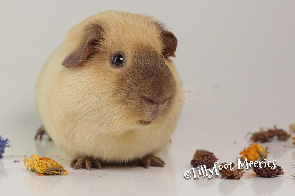 Glatthaar Meerschweinchen in Creme California Schokolade