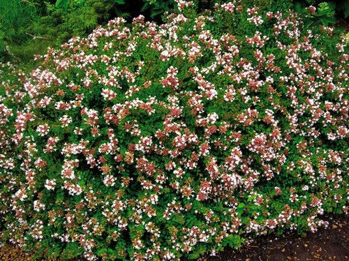 Rose creek abelia an evergreen shrub now available in