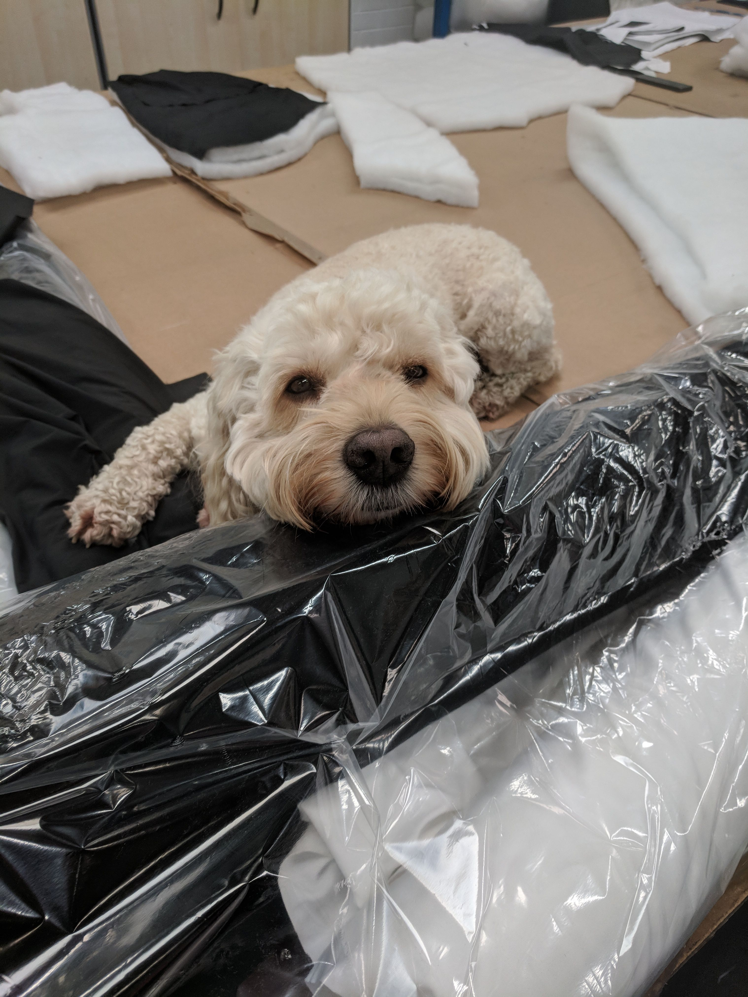 Hard day at work at Weardale wolf cockapoo