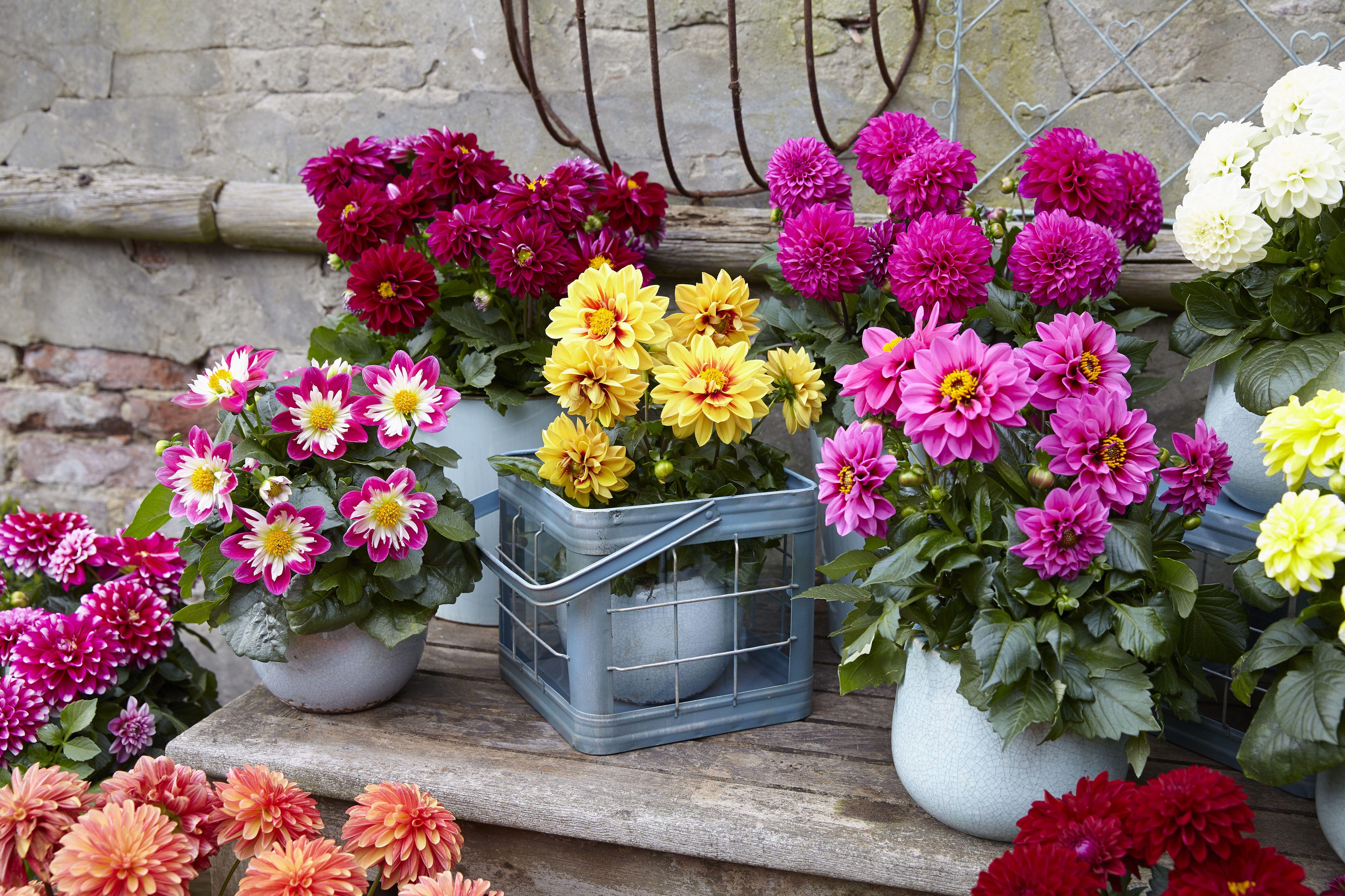 Labella Medio Mix Dahlia Is A Fun Dahlia The Perfect Size For Containers Around The Patio And Deck Yearofthedahlia Summer Bulbs Dahlias Garden Dahlia
