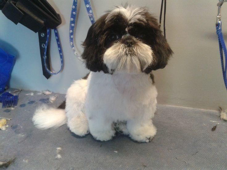 Shih Poo Haircut Pictures Google Search Shih Poo Dog Haircuts
