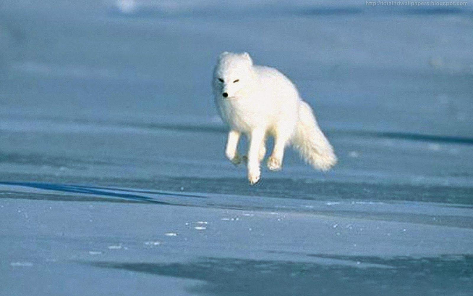 Beautiful Wallpapers For Desktop: Arctic fox HD Wallpapers