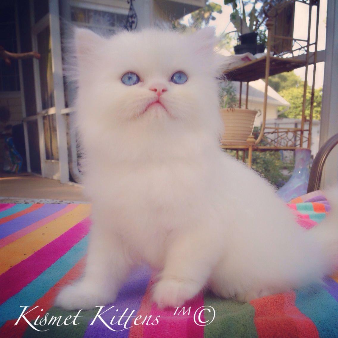 Teacup Kittens For Sale At Kismetkittens To Reserve Web Www Kismetkittens Com Text 813 409 8 Persian Cat Doll Face Teacup Persian Kittens Teacup Kitten