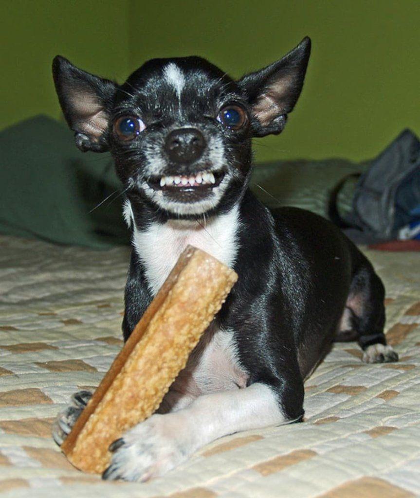 Cómo Lograr Que Tu Chihuahua Deje De Ladrar Para Chihuahuas Pasta De Dientes Para Perro Comportamiento De Los Perros Chihuahua
