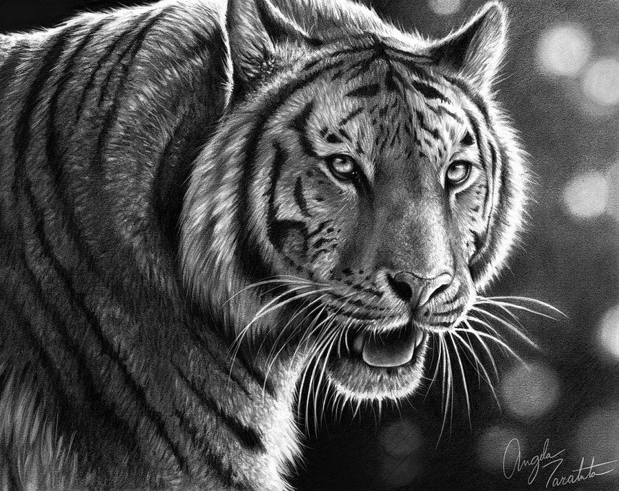 Graphite Pencil Drawing of Tiger Drawings Of Tigers In
