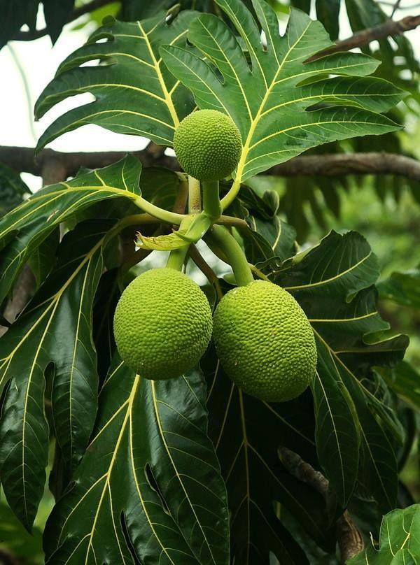 Breadfruit Tree Tropisch
