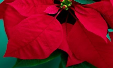 Can Poinsettias Kill Your Cat Cat Plants Benadryl For Cats Toxic Plants For Cats