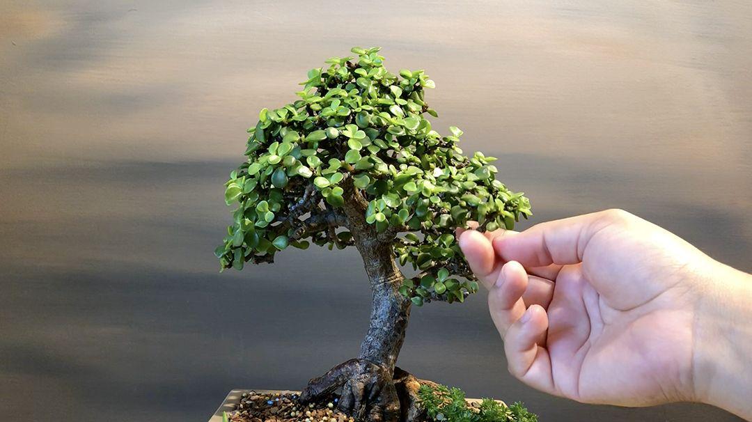 Maintenance Trimming A Shohin Portulacaria Afra Dwarf Jade Bonsai Little Jade Bonsai Jade Bonsai Bonsai Nature Plants