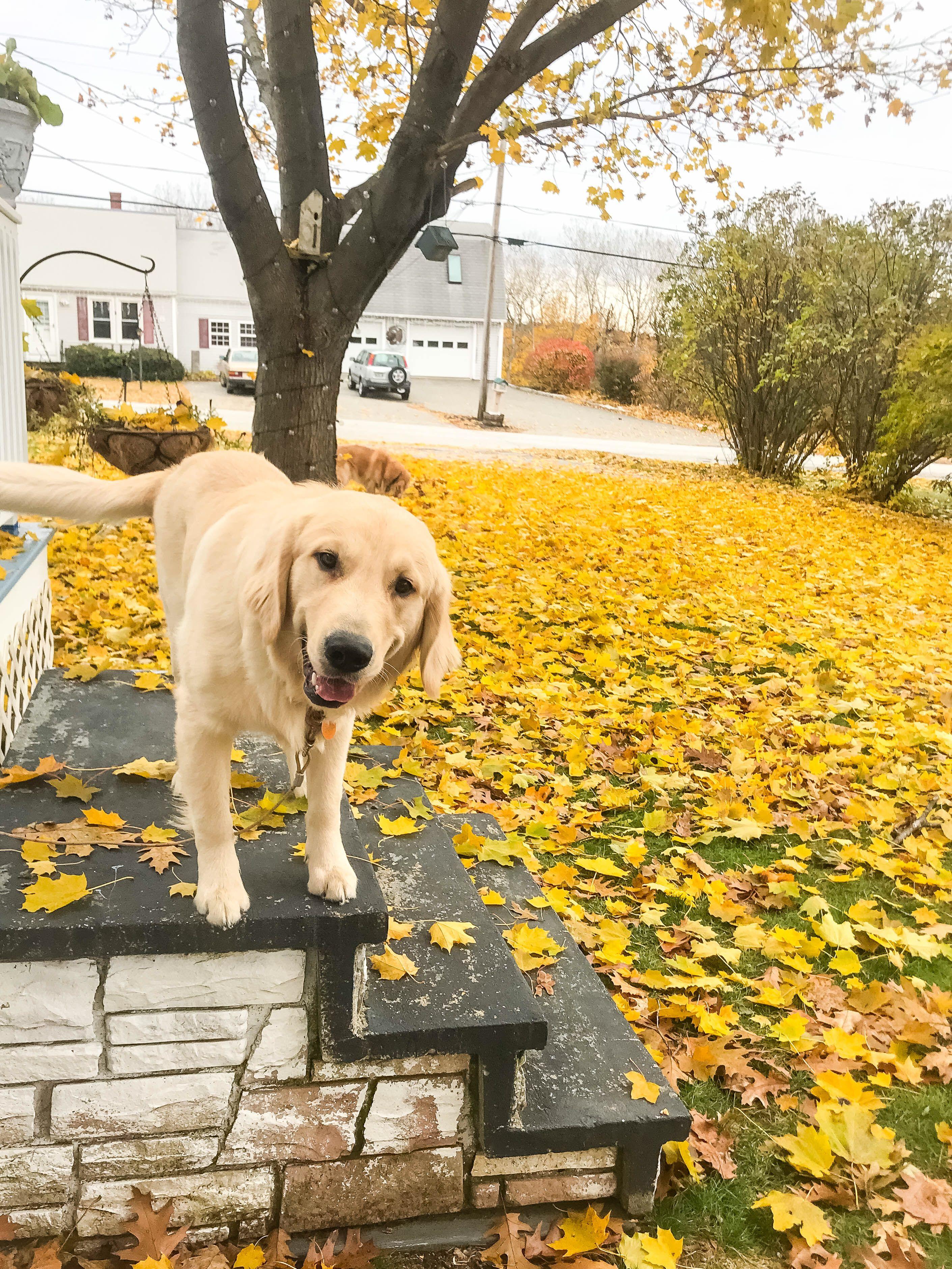 Golden retriever puppy Jasper the friendly golden from