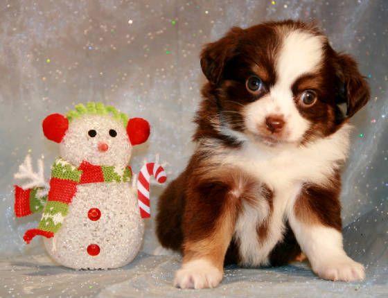 Toy Mini Australian Shepherd Pups For Sale Co Tug Yurhart Mini Australian Shepherds Puppies For Sale Aussie Puppies For Sale