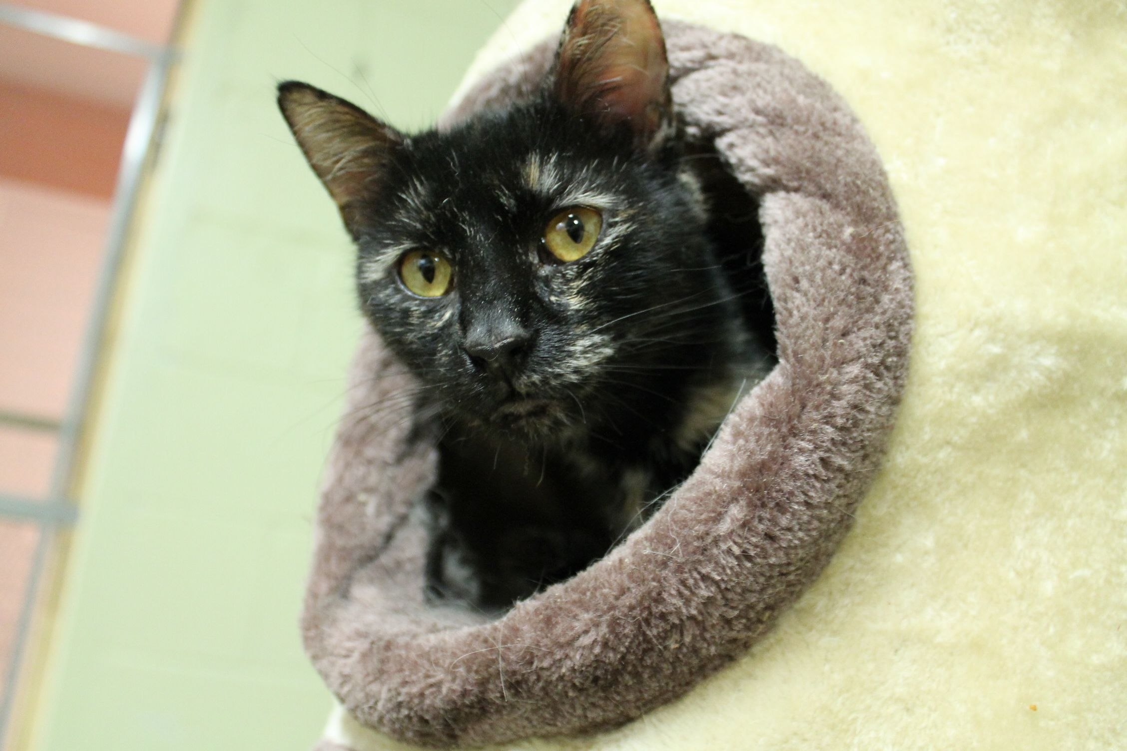 This little girl is quiet and a bit shy at first, but once she gets to know you, Jillian is all about the cuddles. She's great with children and other cats. This two-year-old sweetheart is always up for playtime.