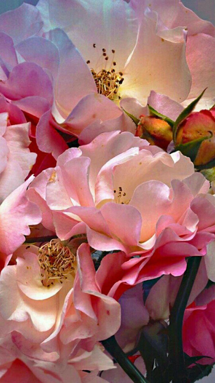 Beautiful roses. #schöneblumen