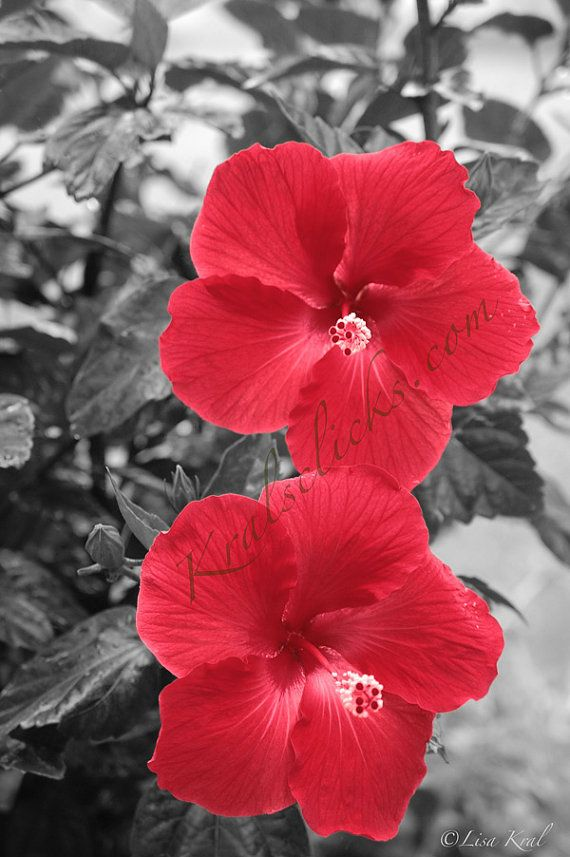 Black And White Red Hibiscus 8 X 12 Print Black White And Red Flower Rich Red Flower Double Color Splash Photography Flowers Photography Color Splash Red