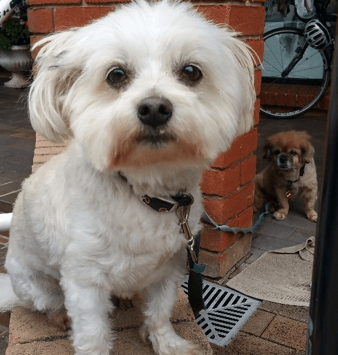Hola Looking For Mini Teddy Bear Puppies In The State Of New Oregon Or Nearby Check Out List Of All Breeders Loca Teddy Bear Puppies Mini Teddy Bears Puppies