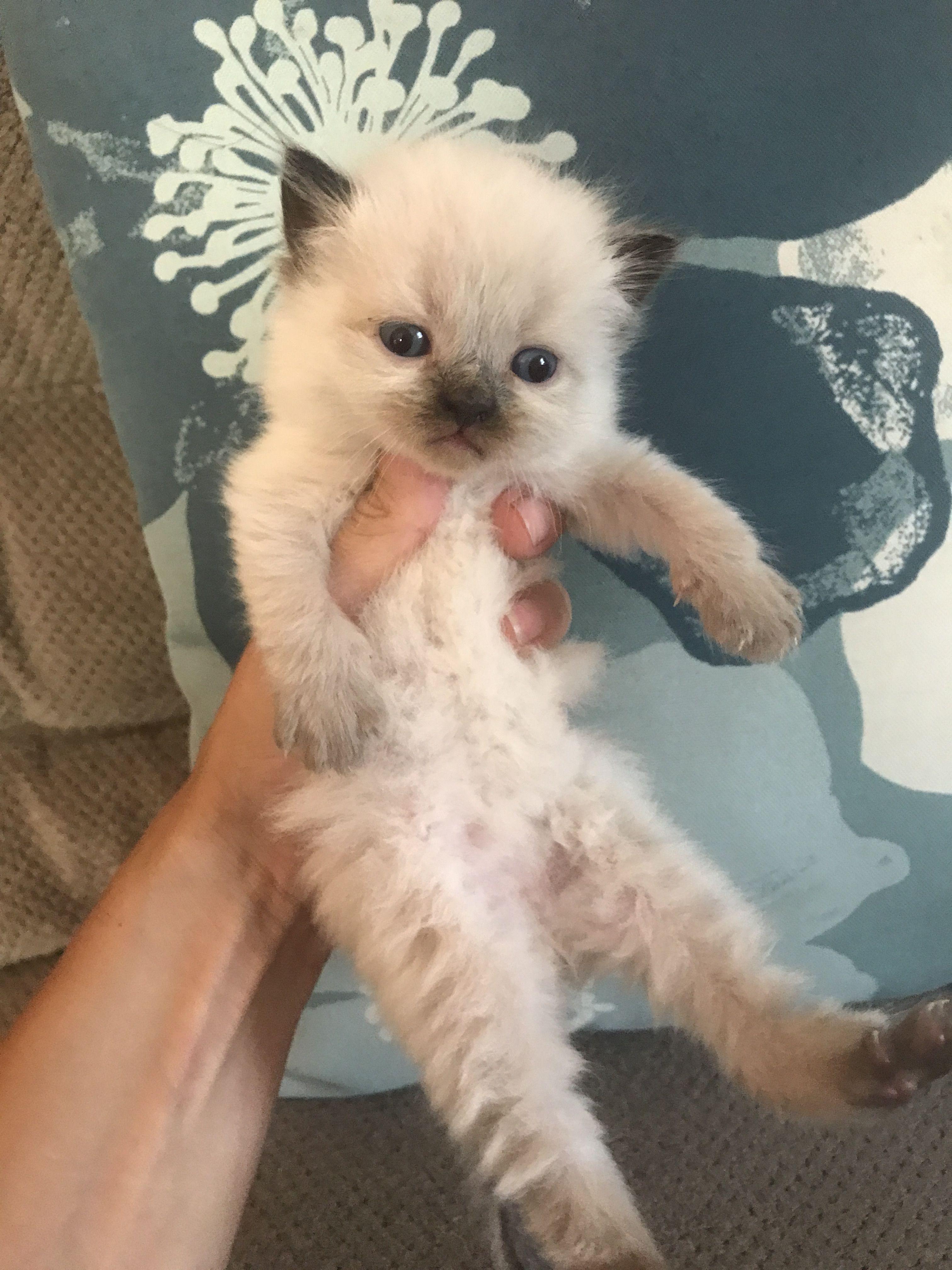 Pin de Himalayan kittens for sale New Jersey www