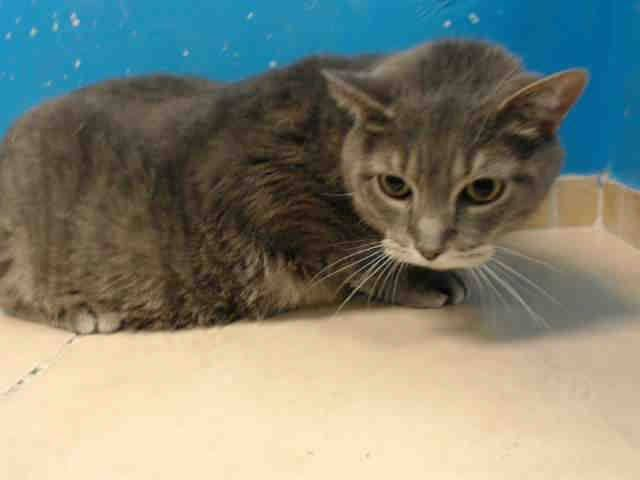 To Be Destroyed 8 14 13 Brooklyn Center My Name Is Simba My Animal Id Is A0974935 I Am A Neutered Male Gray Tabby And White Domest My Animal Animals Tabby