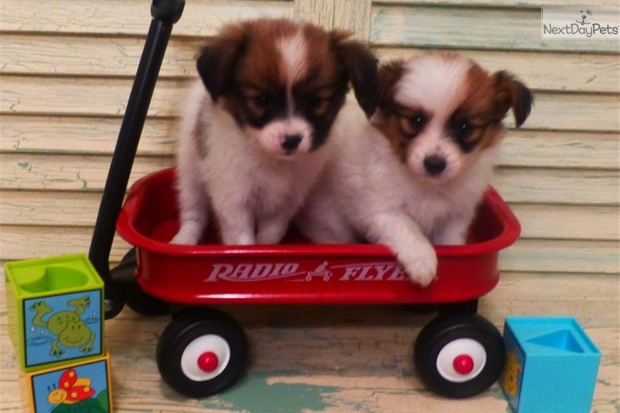 Papillon Puppy For Sale Near Houston Texas 0377f6fb 2661