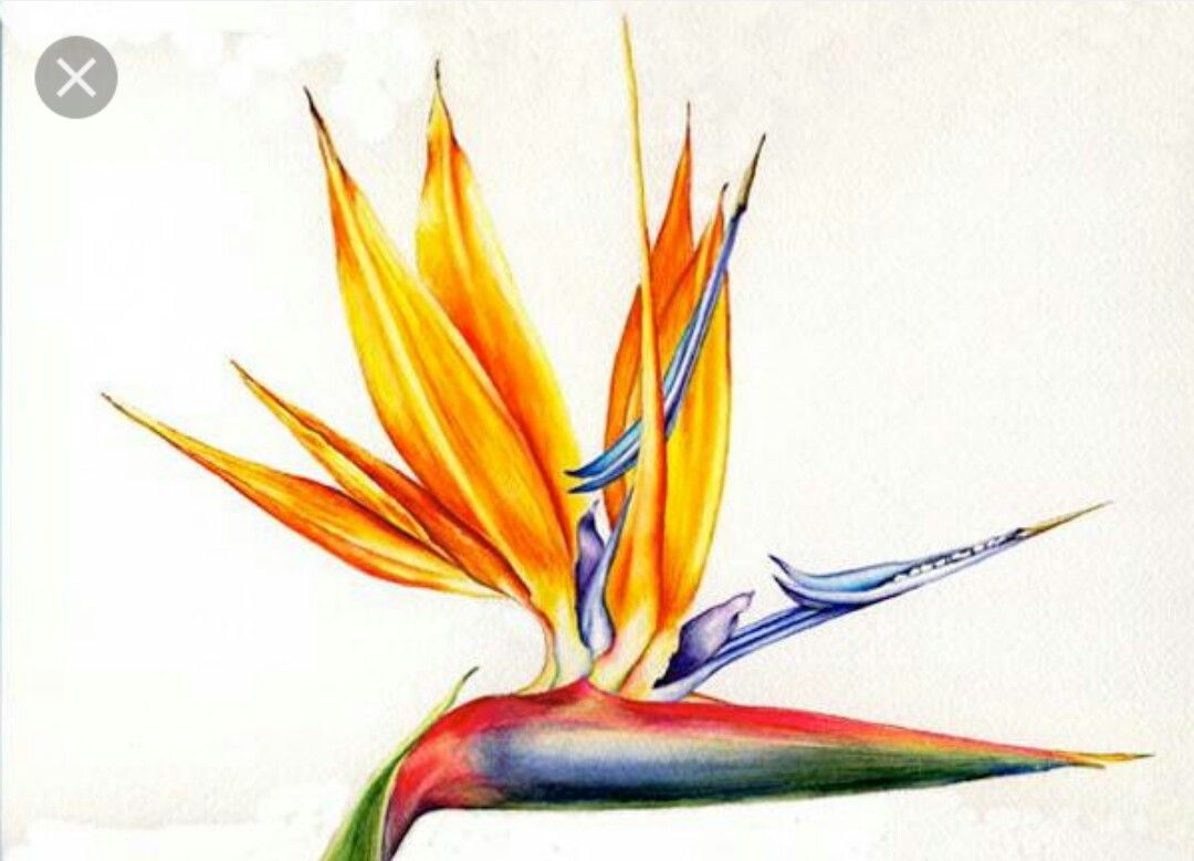 Pin by elizabeth harris on watercolours pinterest tropical hawaii flowers tropical flowers bird of paradise botanical illustration botanical art beautiful paintings watercolours body paint chalkboard buycottarizona