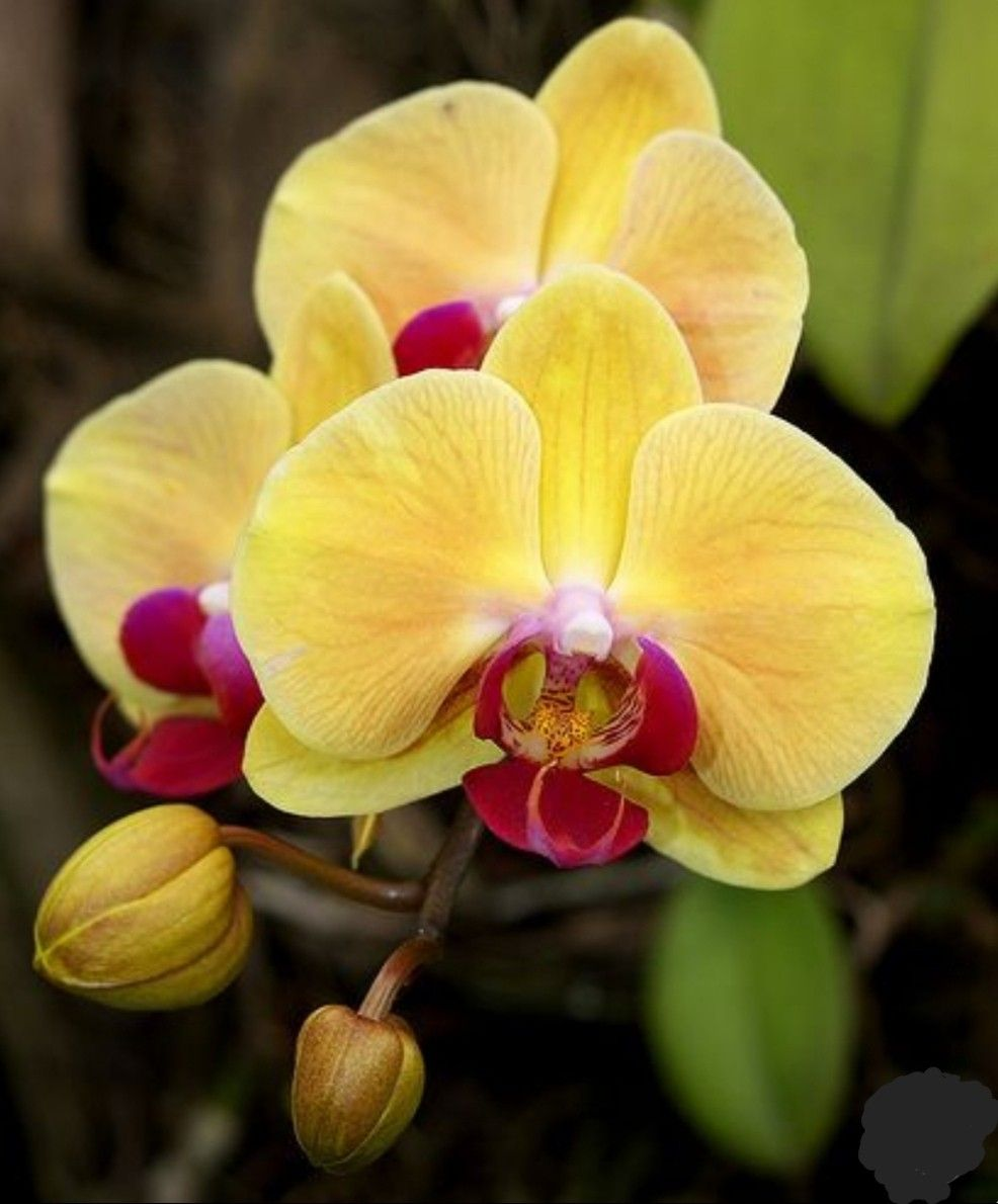 Phalaenopsis Mellow Yellow With Images Orchid Flower