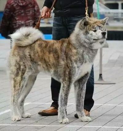 Japanese Akita Inu Brindle Coat Akita Dog Japanese Akita Japanese Dogs